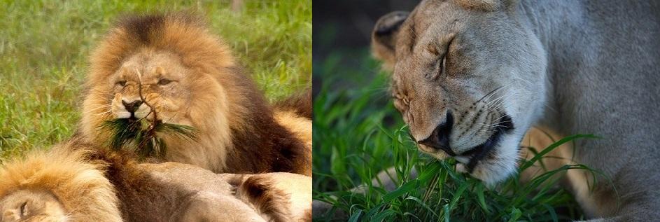 leoes-erva