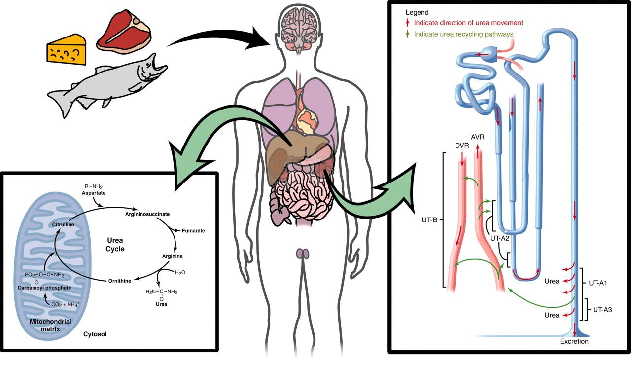 Proteína animal doença renal
